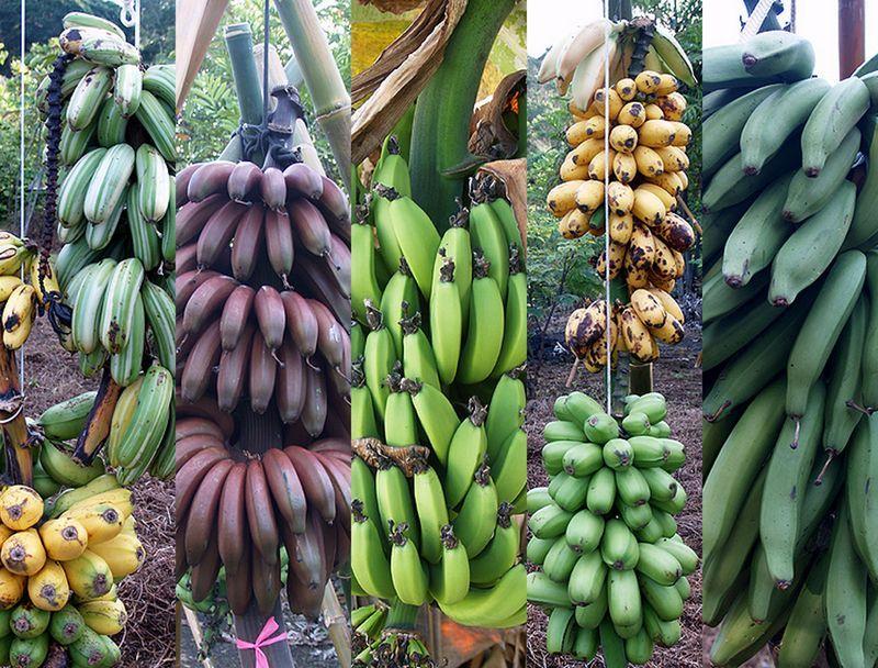 бананы сорта в картинках разных