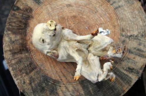 Фото чучела поросенка-мутанта